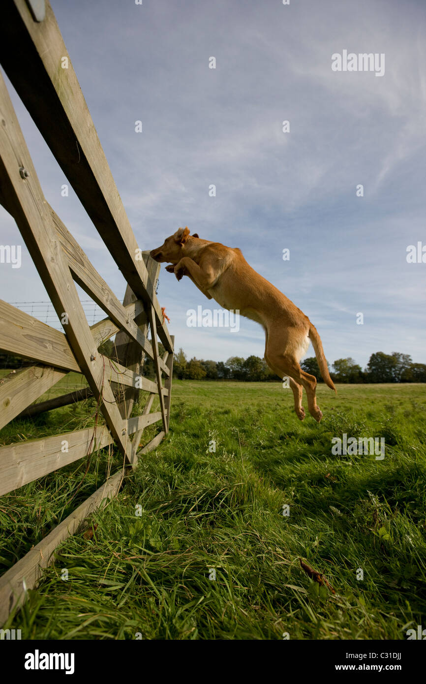 Labrador Dog leaping over a 5 bared gate - Stock Image