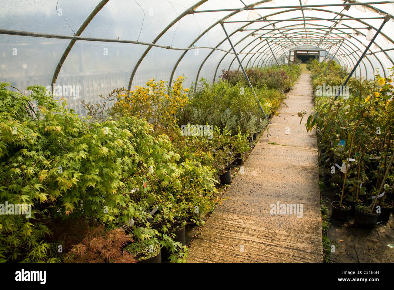 Polytunnel in garden nursery with shrubs growing - Stock Image