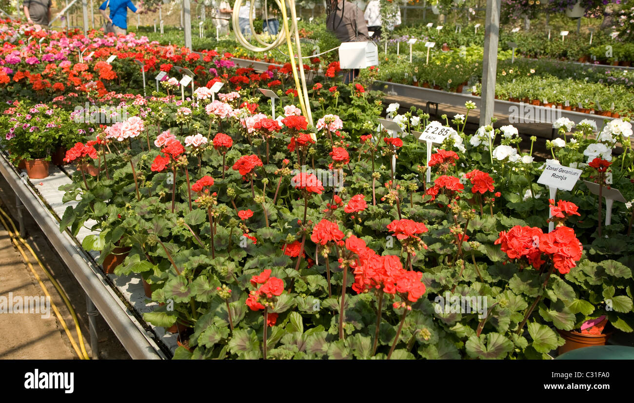 Plants geraniums display inside nursery greenhouse - Stock Image