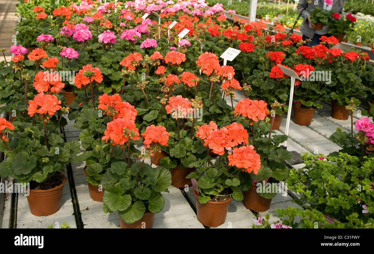 Red pink potted geranium plants nursery - Stock Image