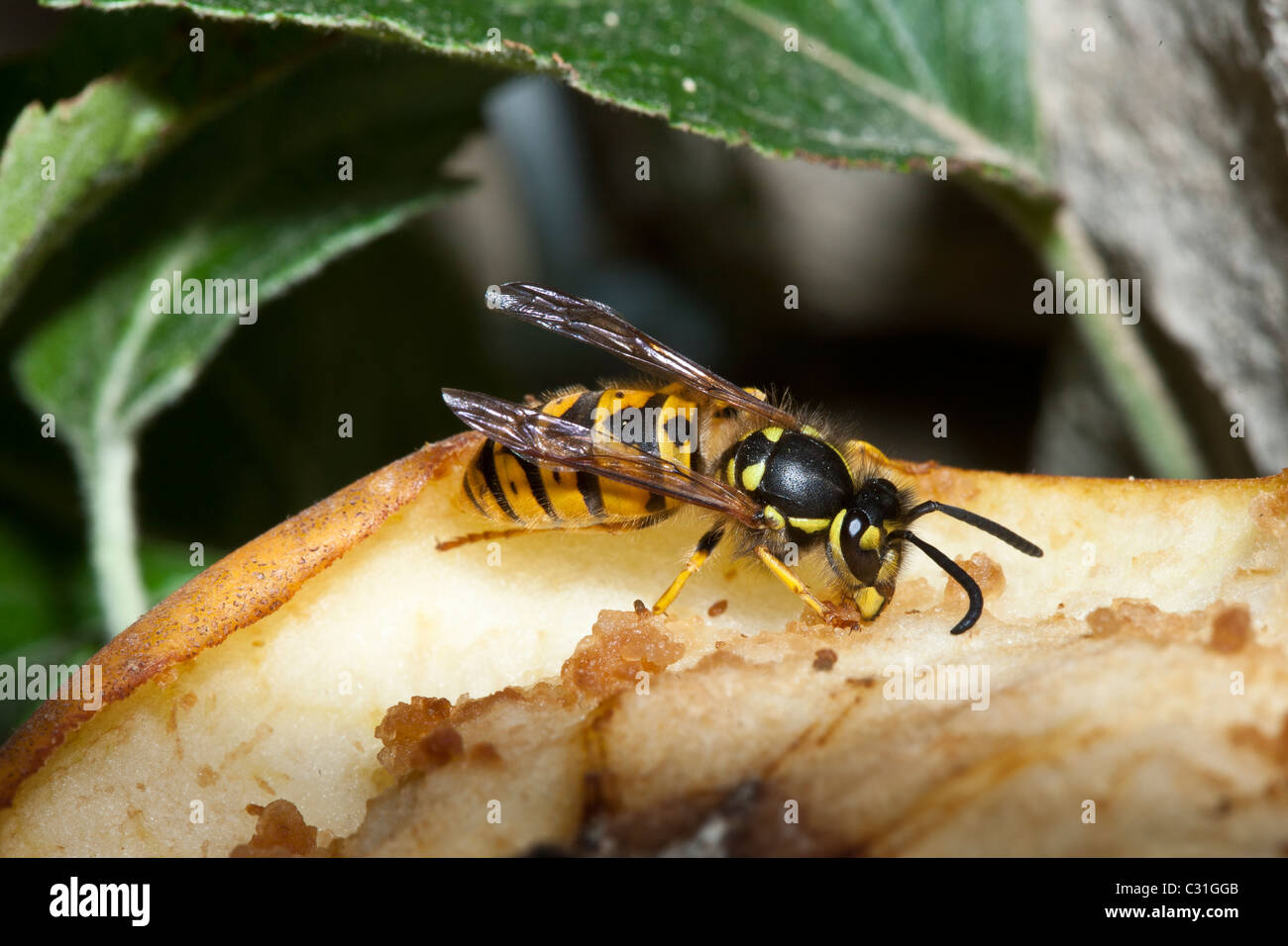 Common wasp yellow jacket, vespula vulgaris, feeding from eating apple on tree in English countryside, UK - Stock Image