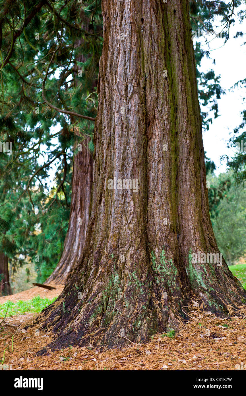 Redwood trees, sequoiadendron giganteum (Redwoods) at Batsford Arboretum, The Cotswolds, Gloucestershire - Stock Image