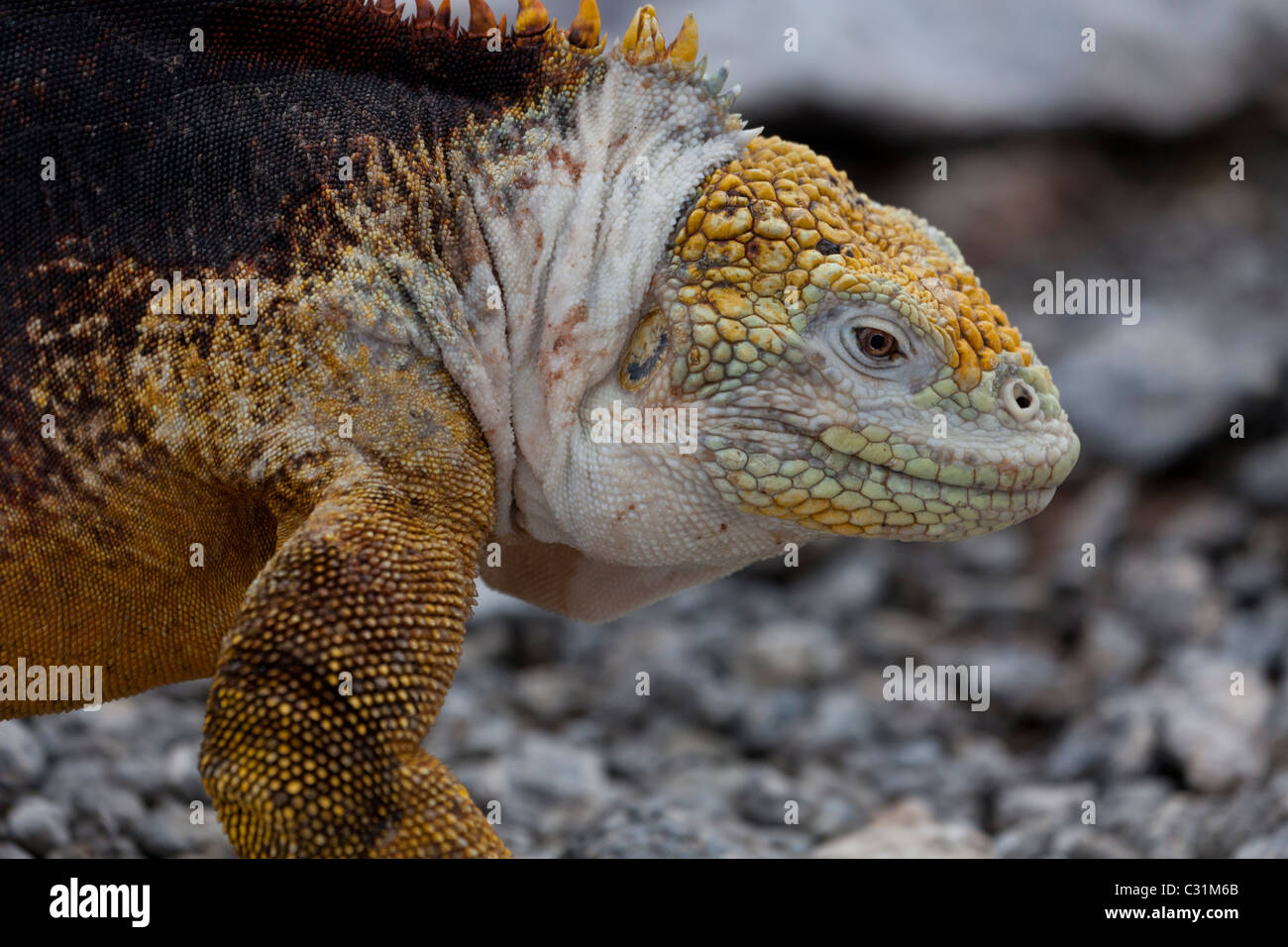 land iguana Conolophus spp Galapagos islands Ecuador - Stock Image
