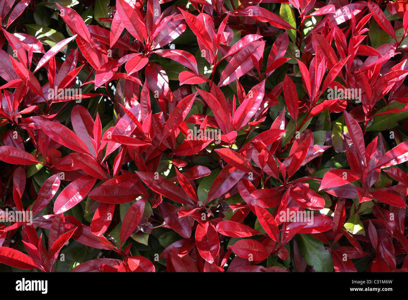Red Robin, shrub in spring with red leaves Stock Photo