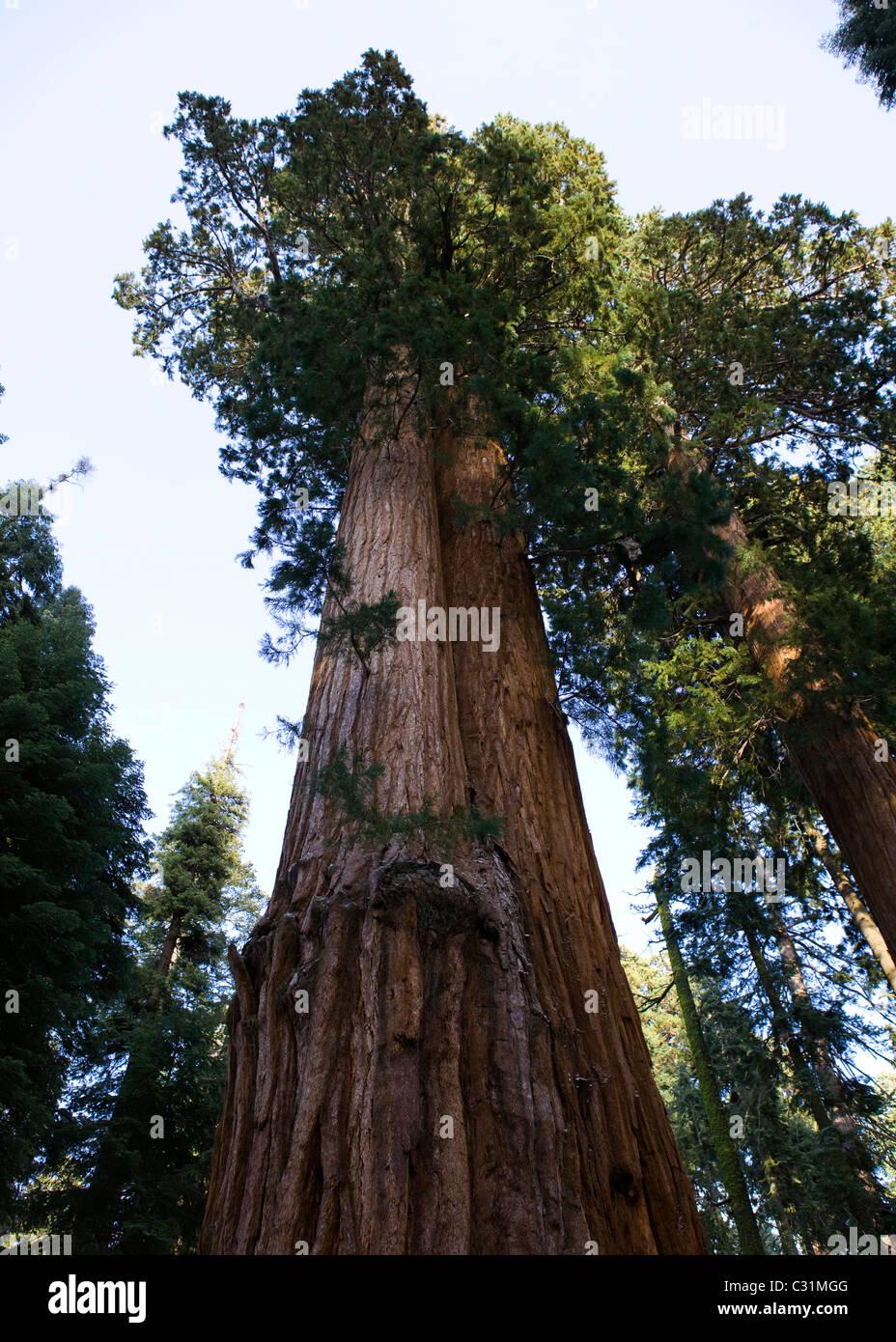 Giant Sequoia tree - Stock Image
