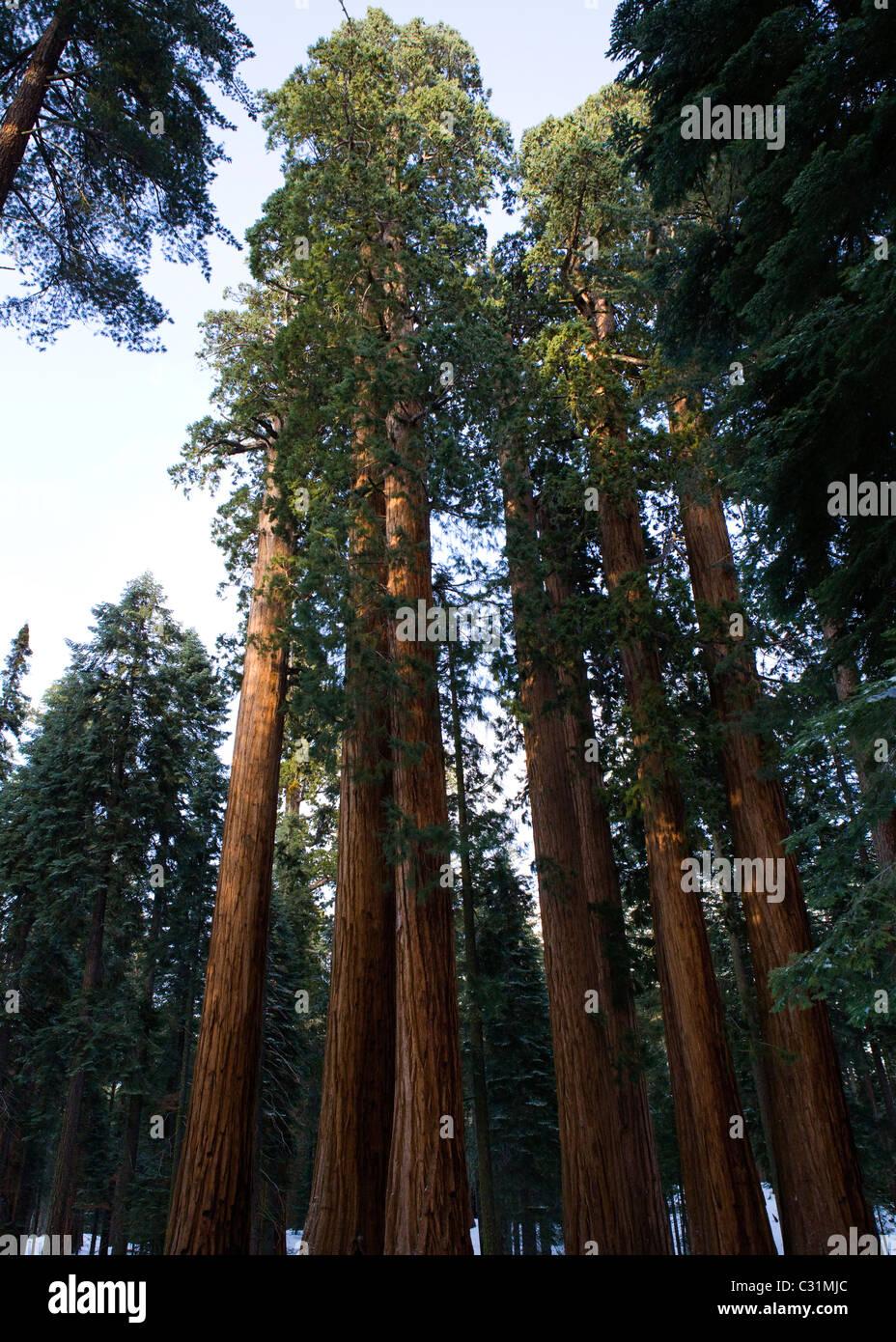 Giant Sequoia trees in winter - Stock Image