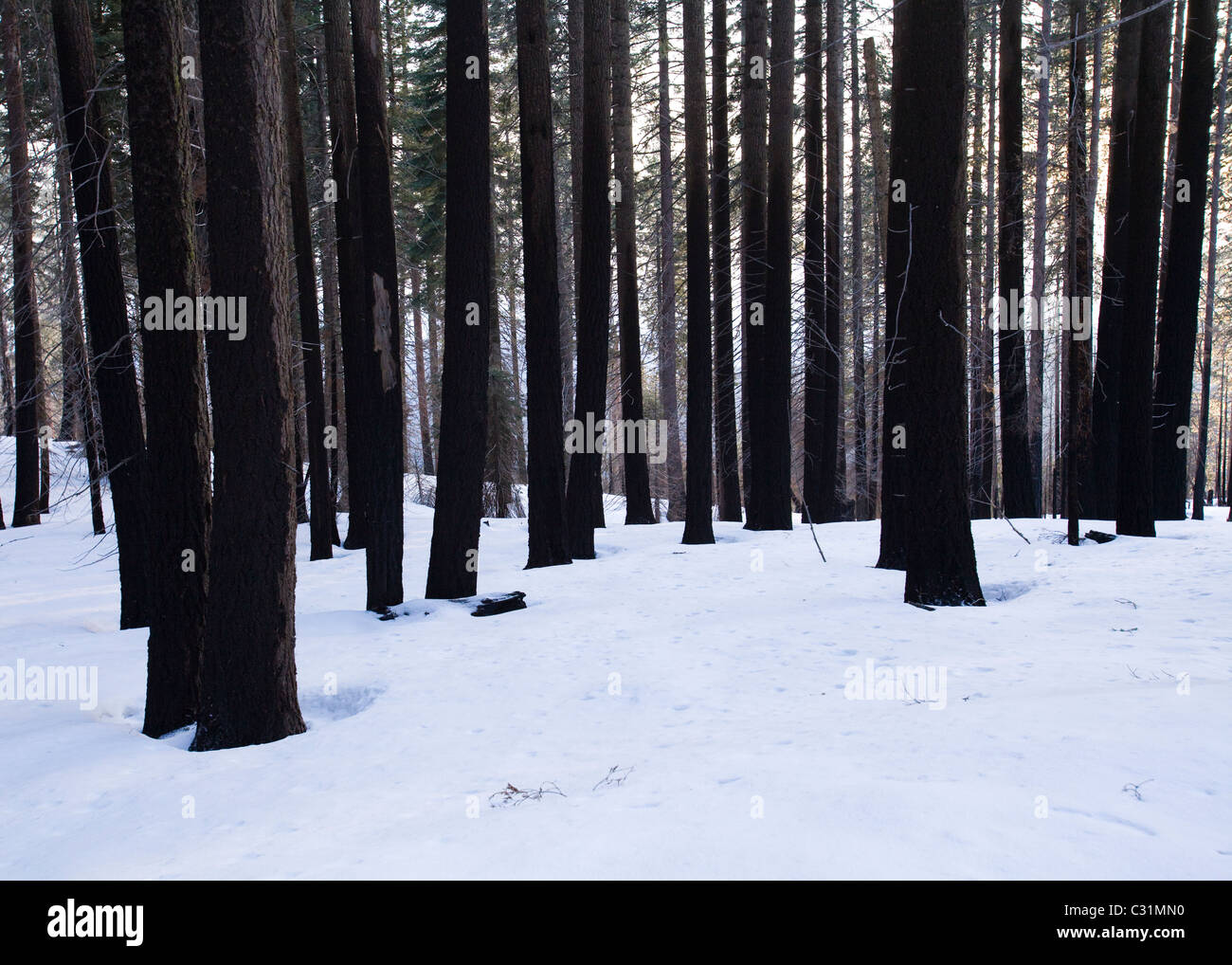 Burned tree forest - Sierra Nevada mountains, California USA - Stock Image