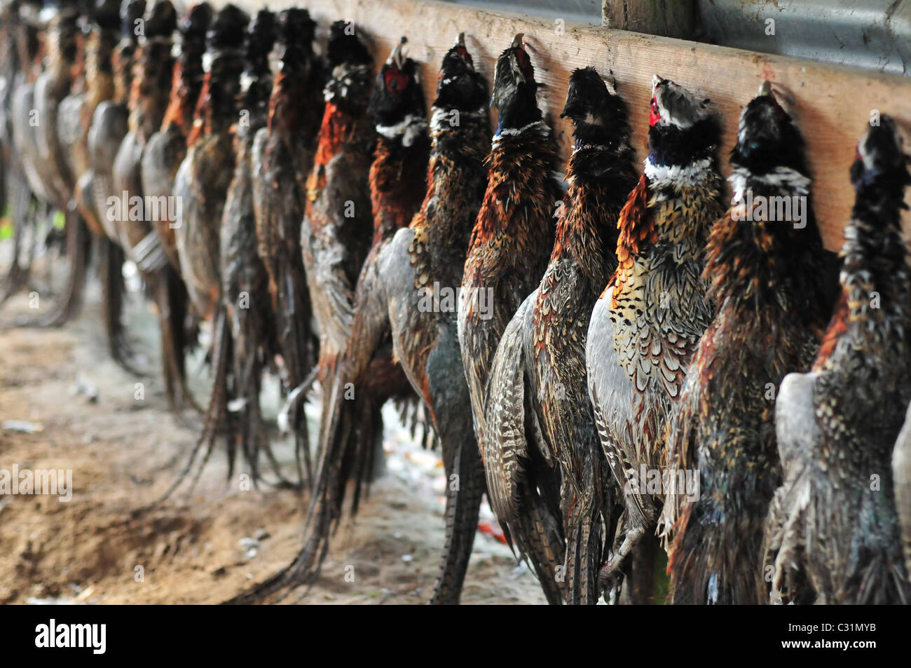 PHEASANTS, THE HUNT'S TAKE, SOMME (80), FRANCE Stock Photo