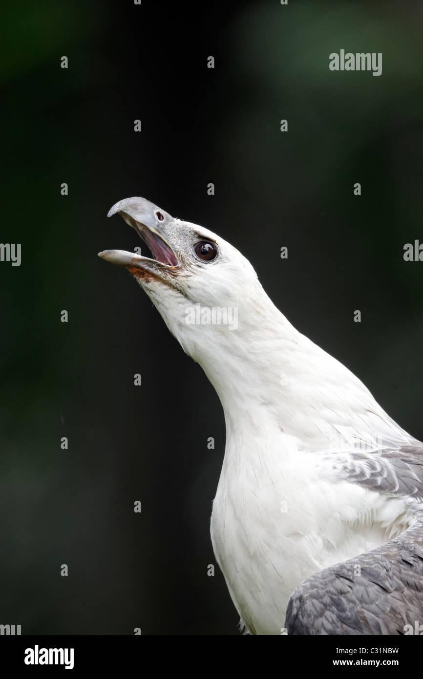White-bellied sea-eagle, Haliaeetus leucogaster, single captive bird head shot calling, Indonesia, March 2011 Stock Photo
