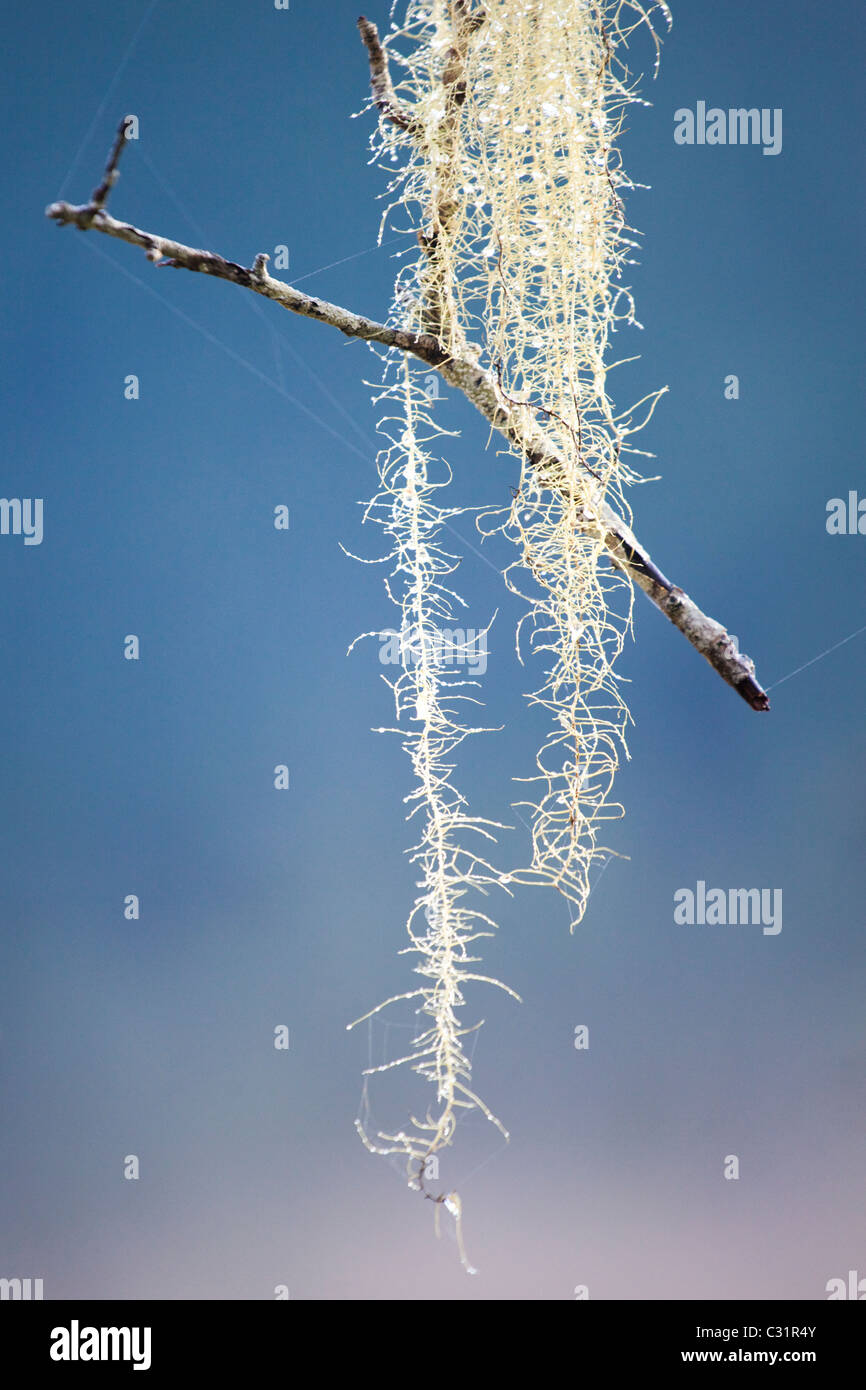 A small twig hangs suspended in the air, caught in a strand of lichen in Olympic National Park, Washington. - Stock Image