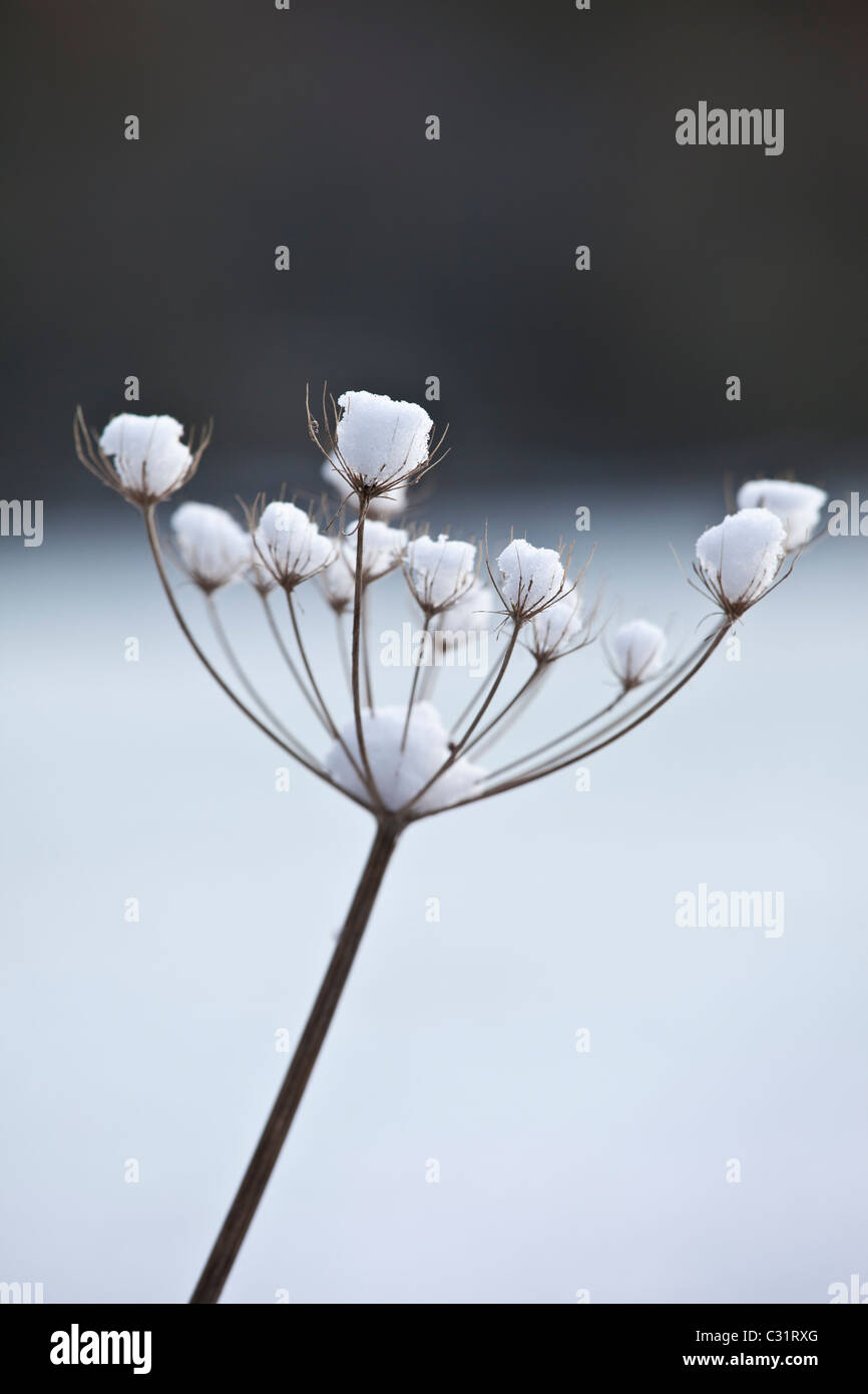 Winter scene hoar frost on giant hogweed, The Cotswolds, UK - Stock Image