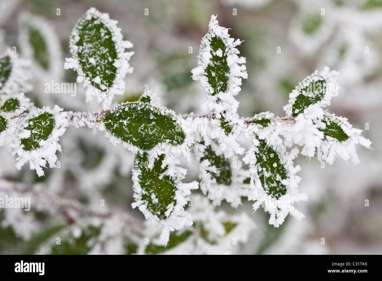 Winter scene hoar frost ice crystals on Portugese laurel bush in The Cotswolds, UK - Stock Image