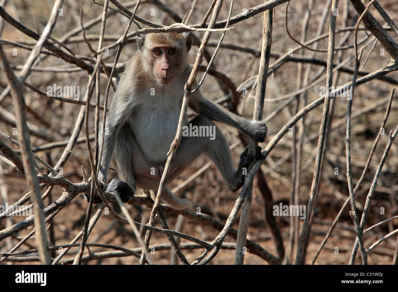 MACAQUE MONKEY IN THE BRANCHES, KAENG KRACHAN NATIONAL PARK, PHETCHABURI, THAILAND, ASIA Stock Photo