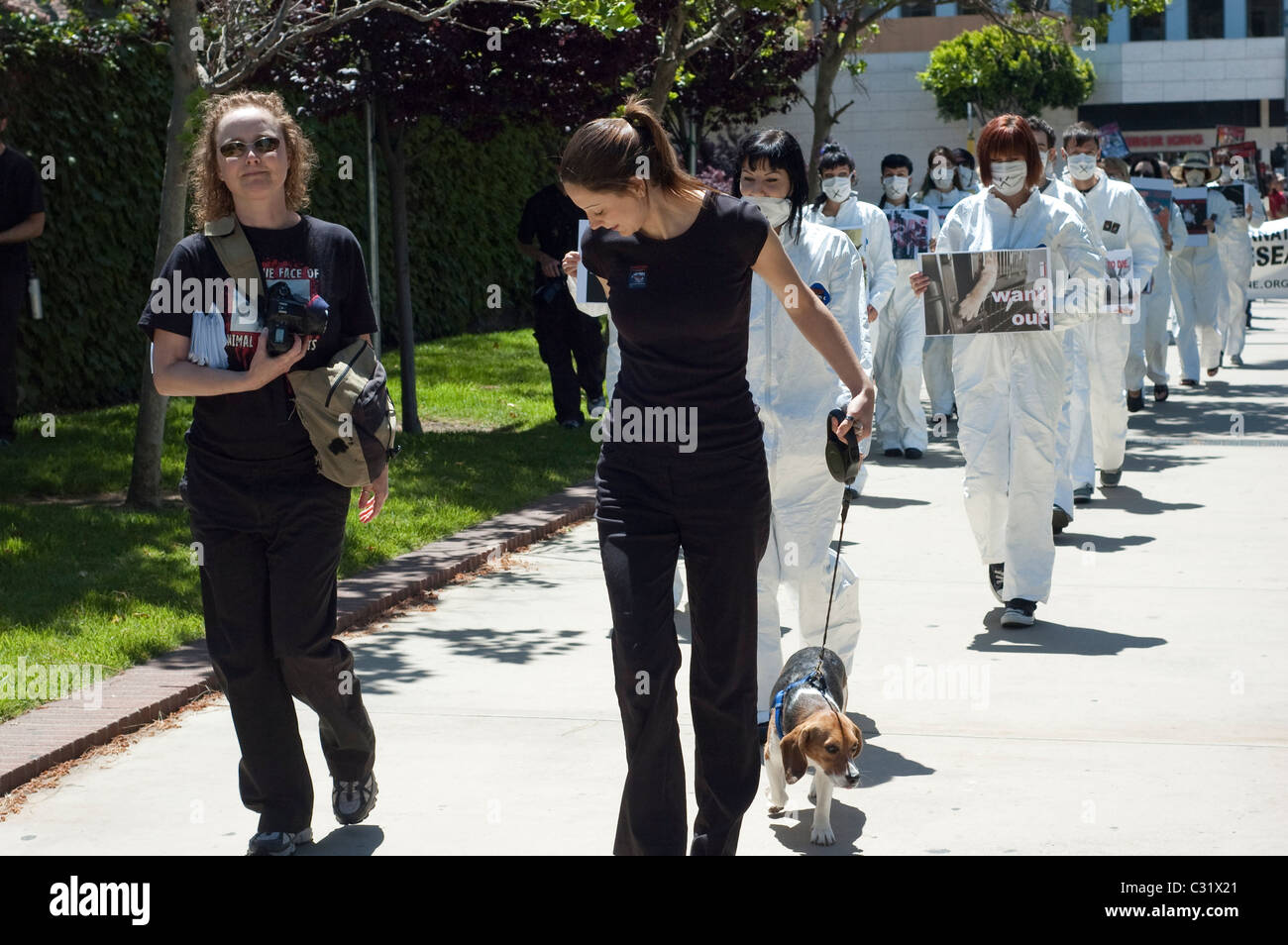 A rescued laboratory Beagle dog dubbed Freedom leads an anti-vivisection protest at UCLA campus in Los Angeles, - Stock Image