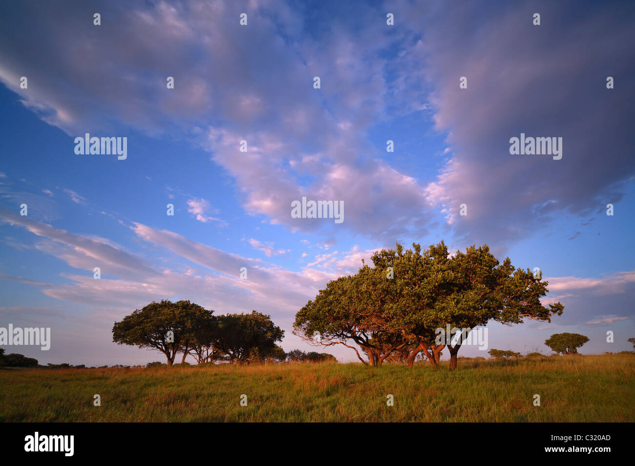 Low angle view of thorn trees in a grass field, iSimangaliso Wetland Park, Kwazulu-Natal, South Africa - Stock Image