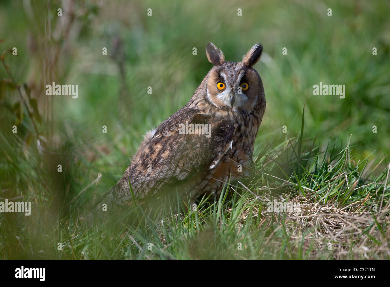 Long-eared Owl Asio otus portrait in grass - Stock Image