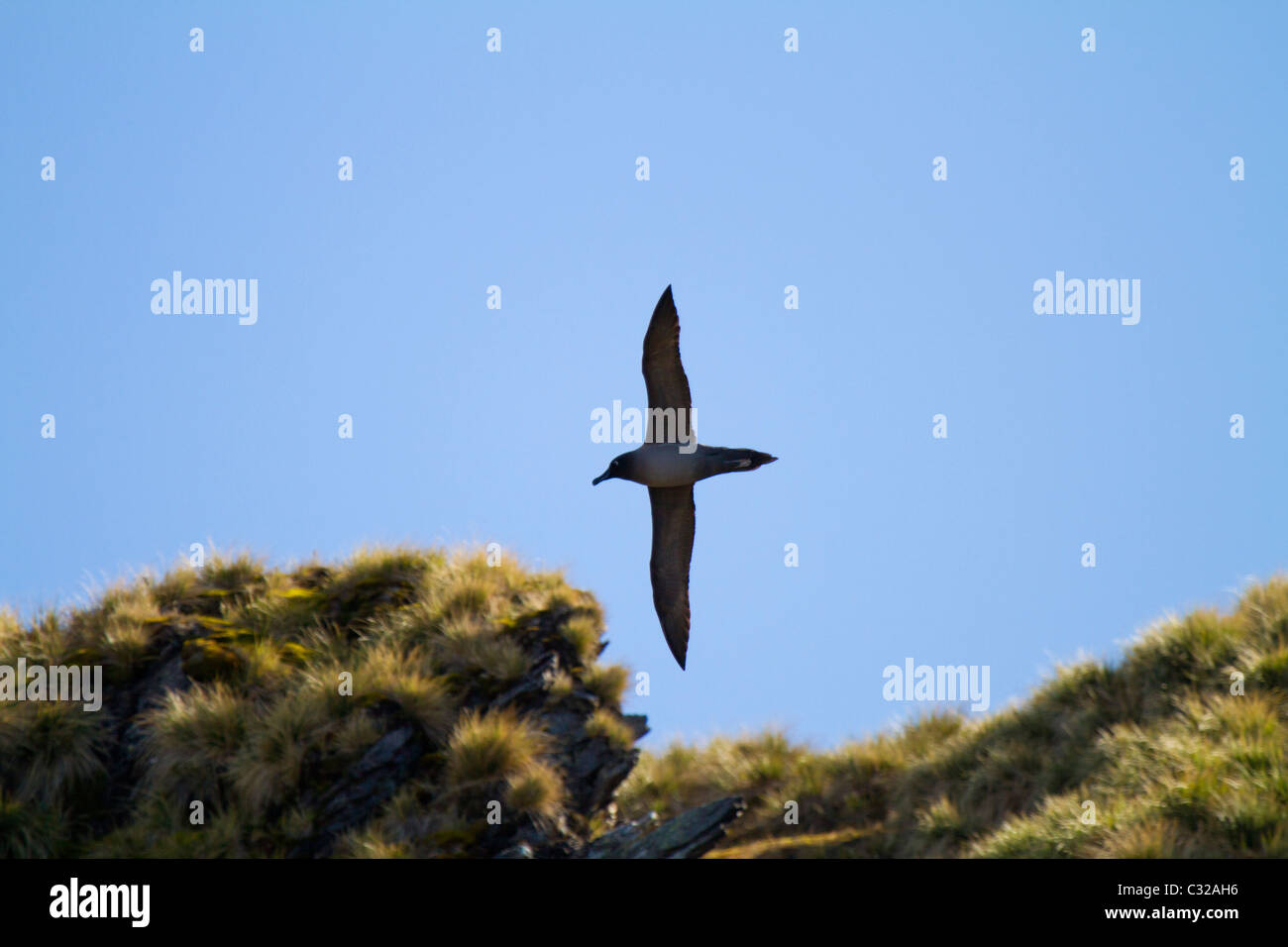 A light mantled sooty albatross soars in to its nesting area - Stock Image