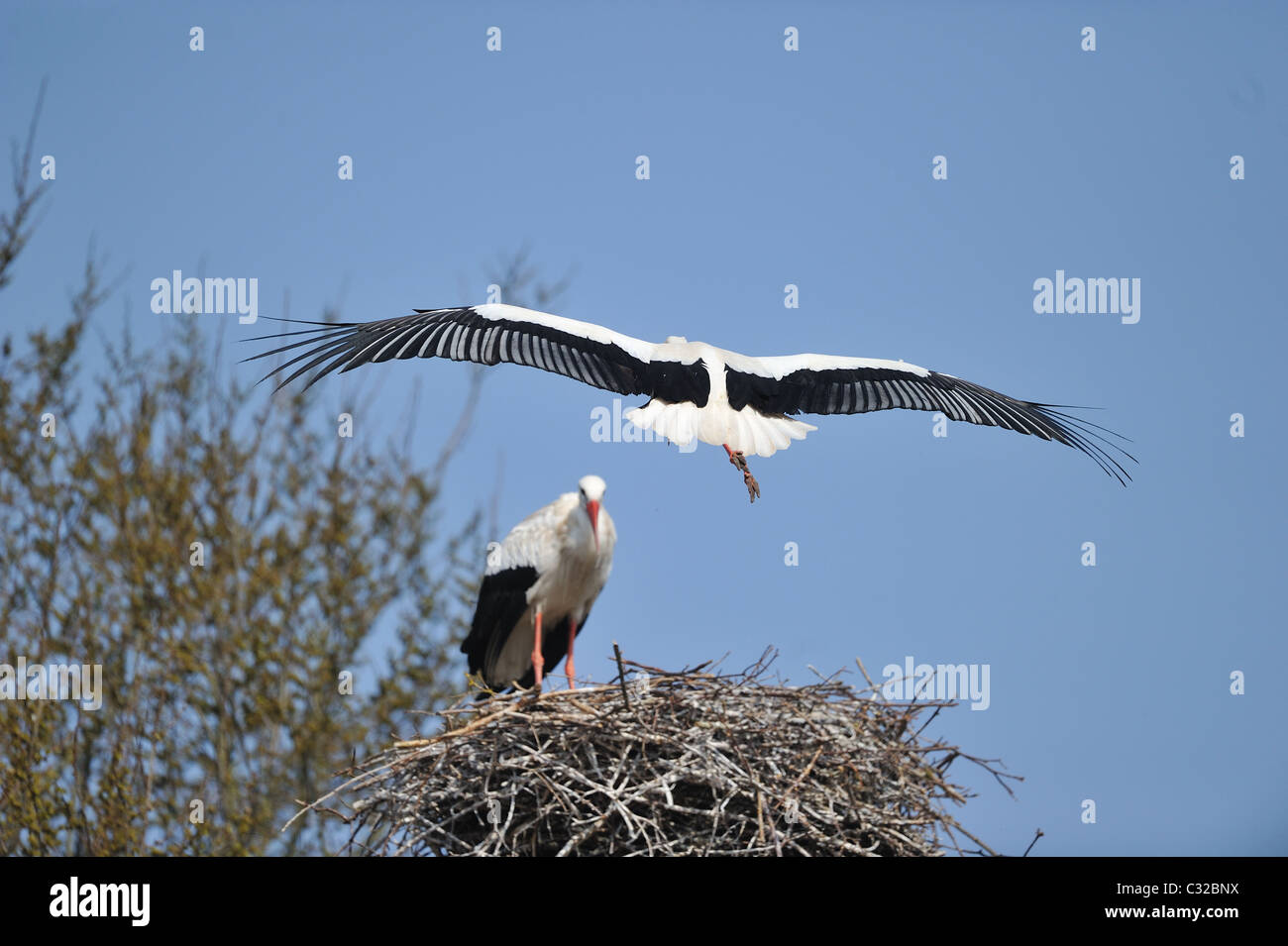 White stork (Ciconia ciconia) flying back to the nest - Spring - Belgium Stock Photo