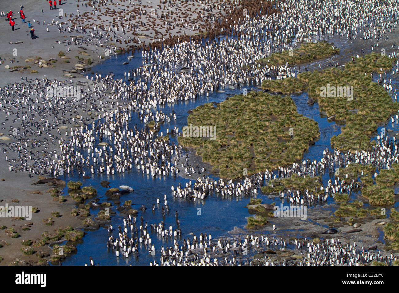 Aerial view of the massive king penguin colony at Gold Harbour, South Georgia Island - Stock Image