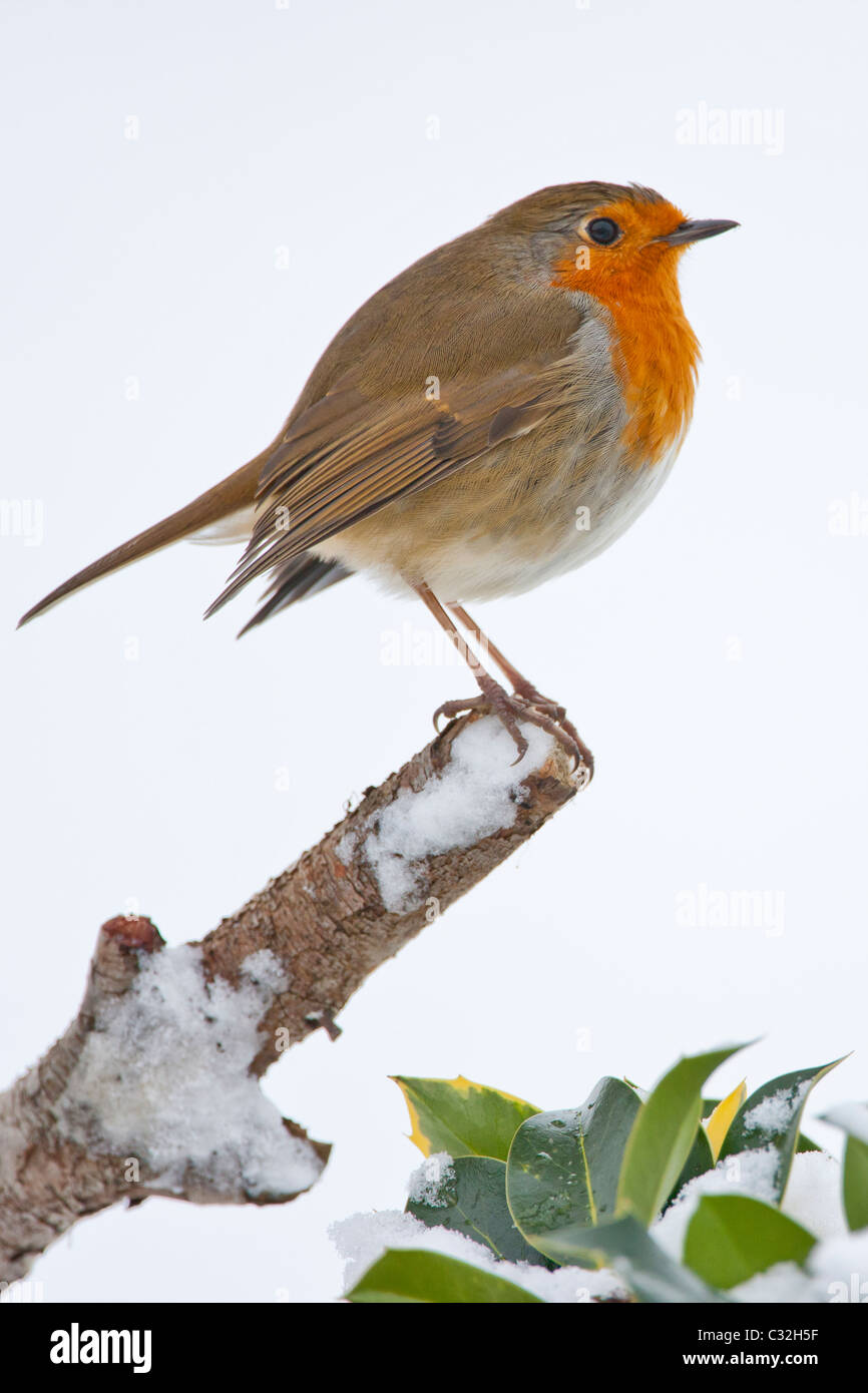Robin puffed up against the cold perches by a snowy hillside in The Cotswolds, UK - Stock Image