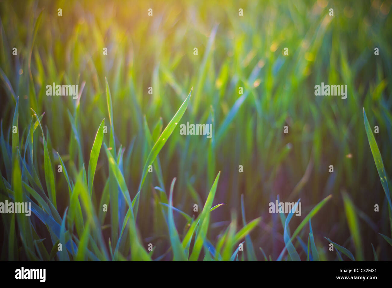 Hazy field in sunshine, UK. Sprouting wheat grass. - Stock Image