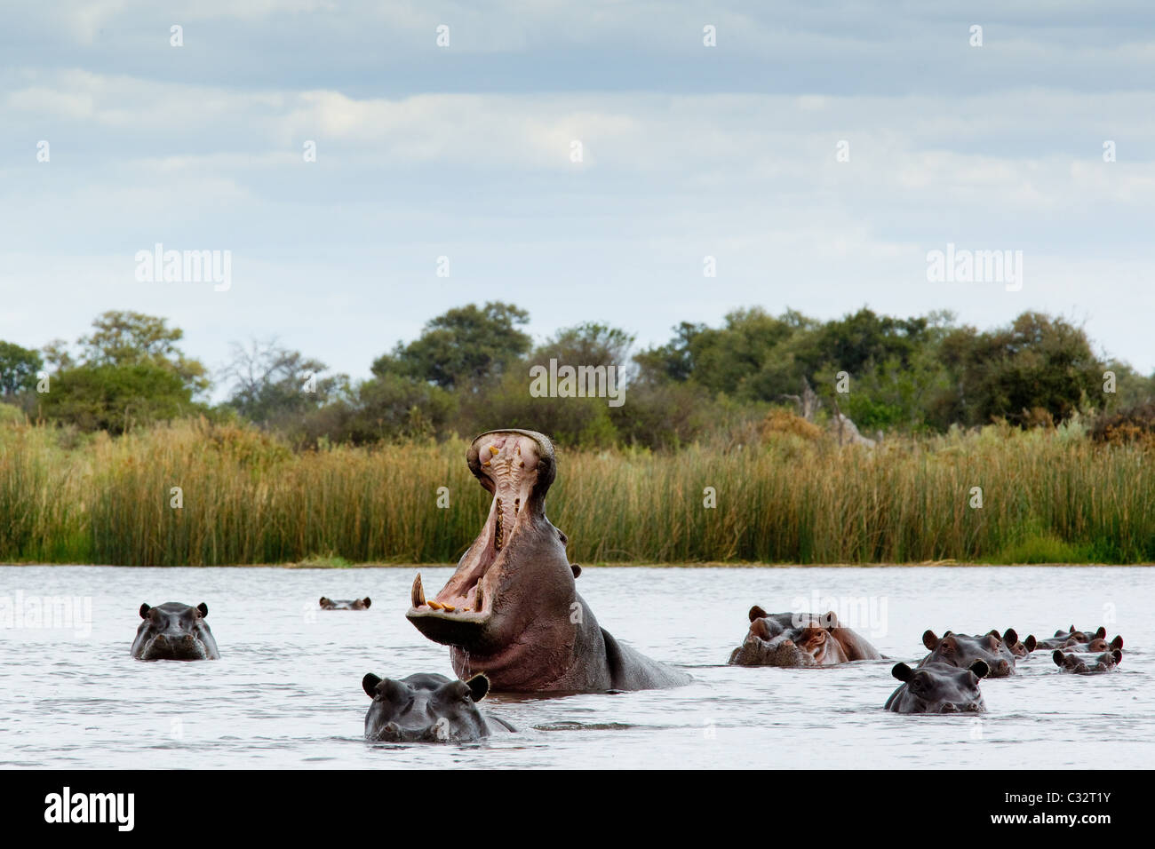 Belligerent hippo in river - Stock Image