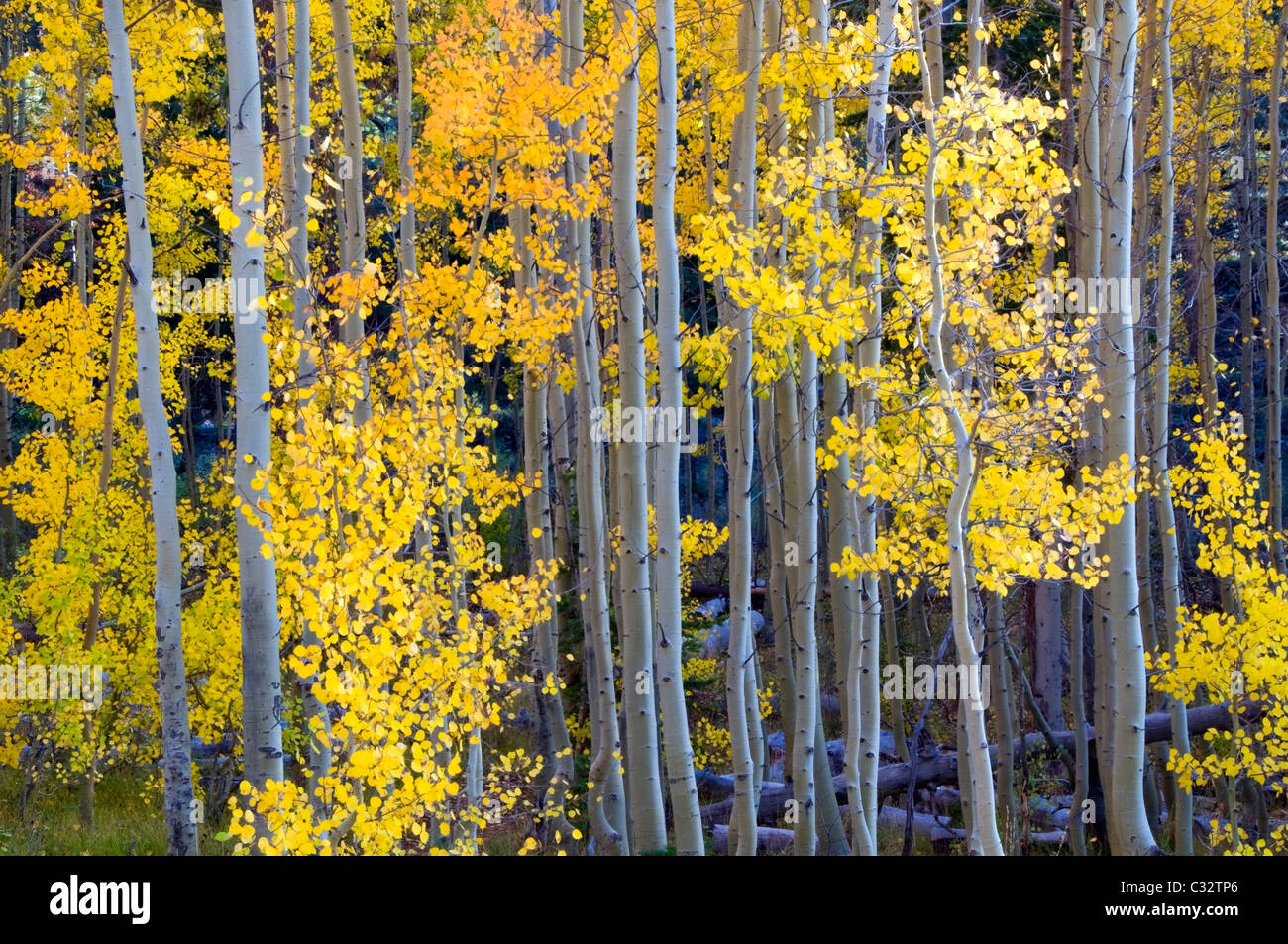 Aspens turn bright yellow and orange in the fall in Lake Tahoe, NV. - Stock Image