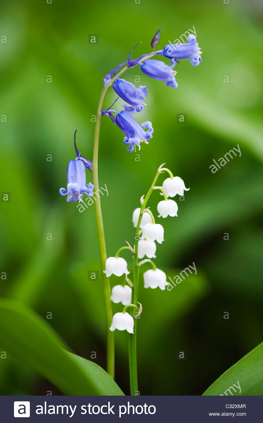 Bluebells And Lily Of The Valley Flowers In Spring Uk Stock Photo