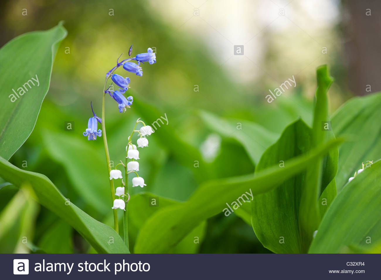 Bluebells and lily of the valley flowers in spring uk stock photo bluebells and lily of the valley flowers in spring uk izmirmasajfo Images