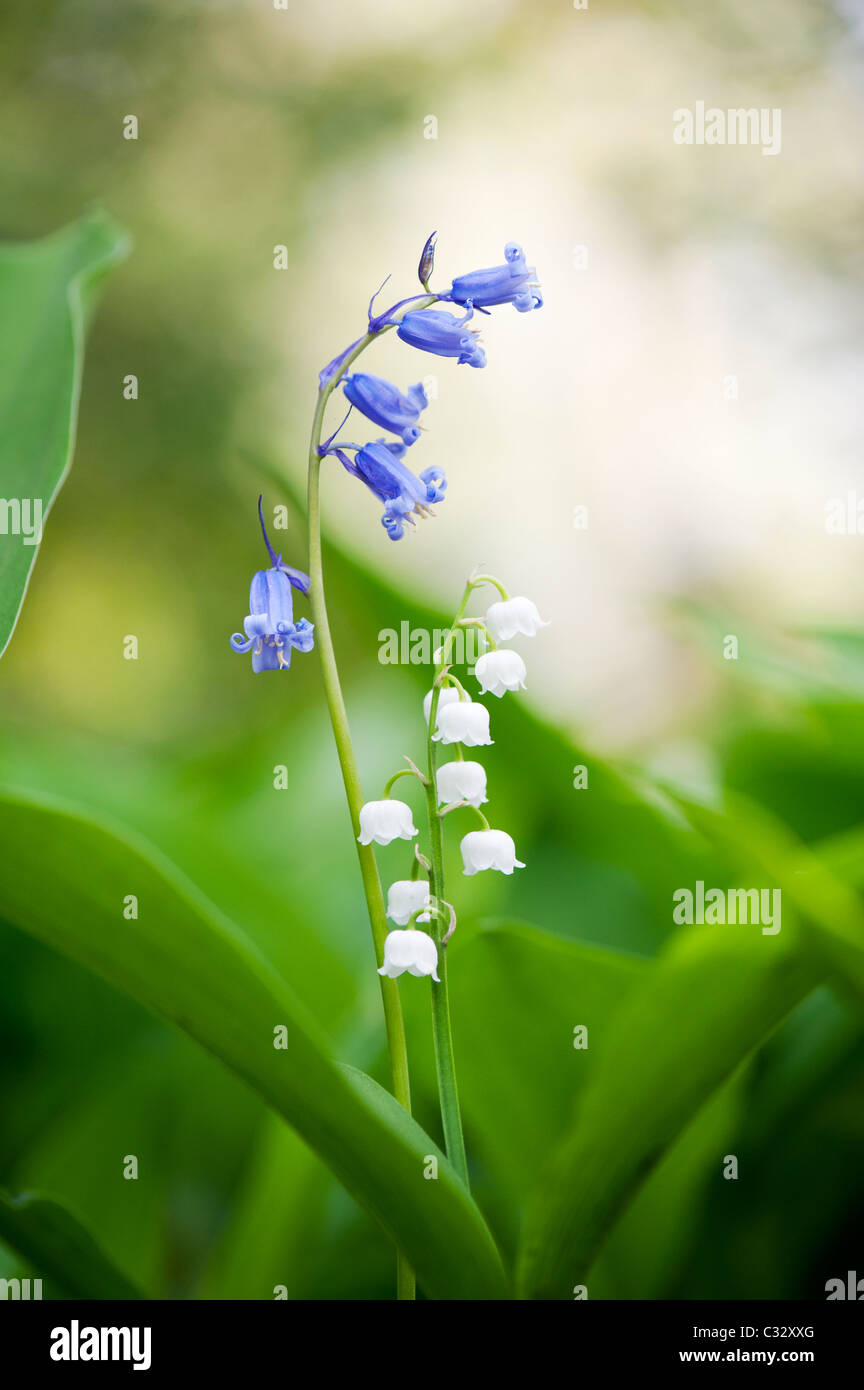 Bluebells and Lily of the valley flowers in spring. UK Stock Photo