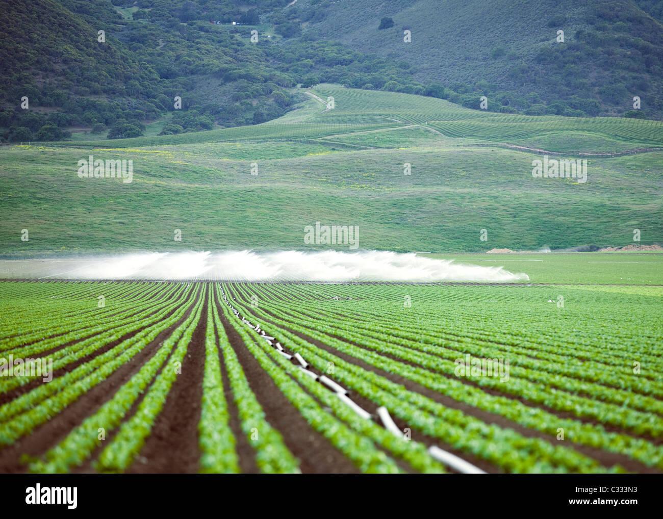 Irrigation on large vegetable farm - Stock Image