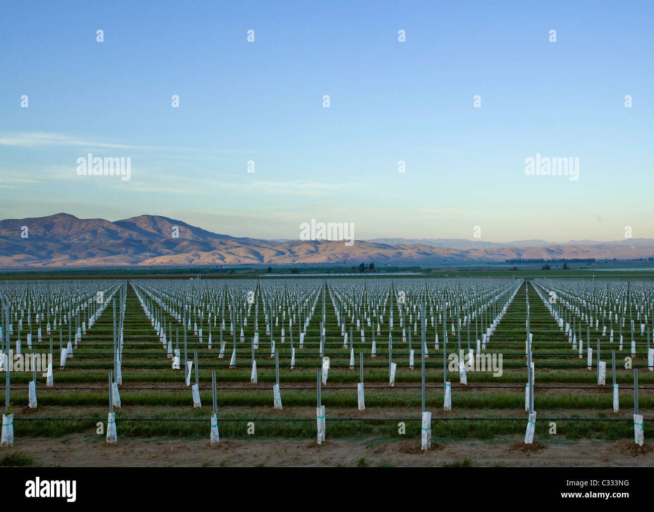 Newly planted large scale fruit orchard in central California - Stock Image