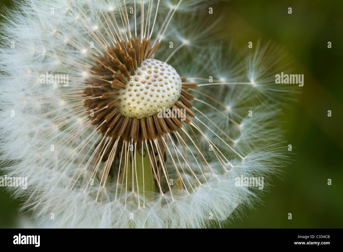 A Macro Photograph of a Dandelion Clock Stock Photo