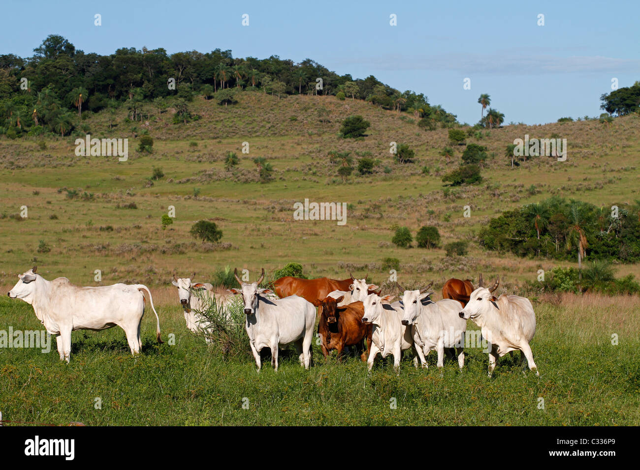 Cattle farming in Paraguay - Stock Image