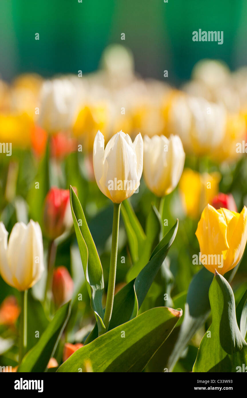 tulips flowers - Stock Image