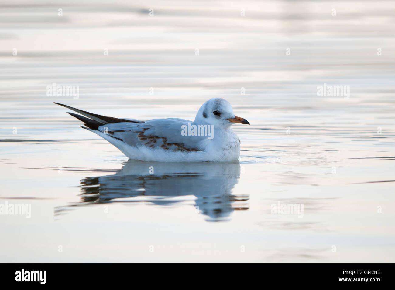 Black-headed Gull (Larus ridibundus) immature on water - Stock Image