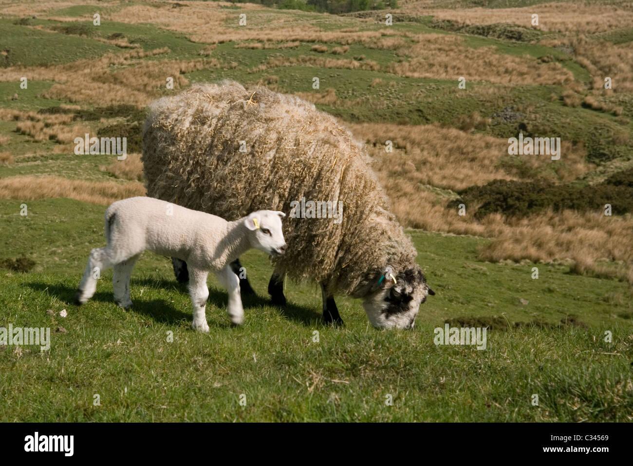 Sheep, ewe & lamb - Stock Image