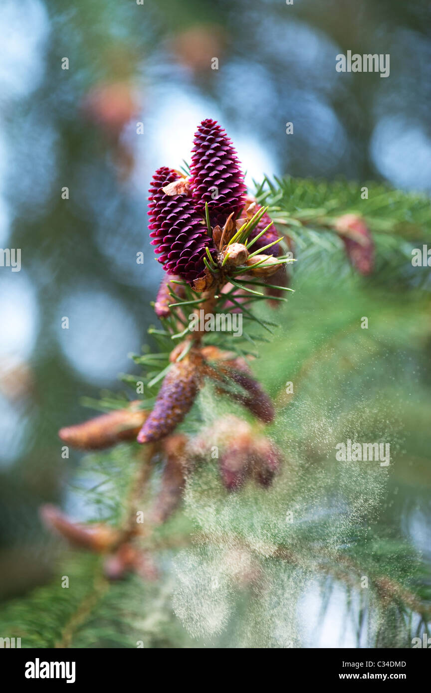 Picea likiangensis. Luiang spruce. Tree flowers releasing pollen - Stock Image