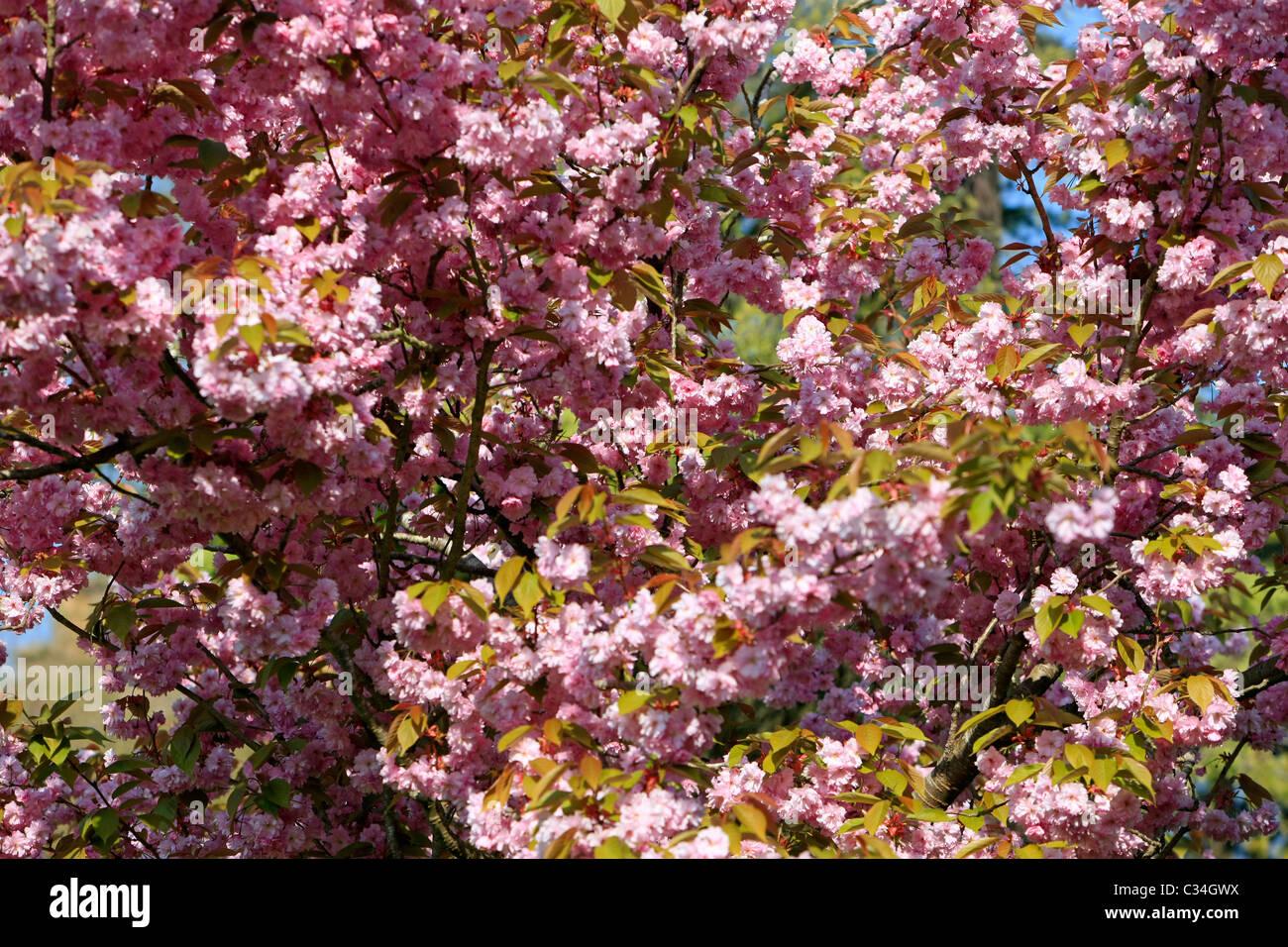 Pink Flowers Of The Ornamental Cherry Tree Stock Photo 36365782 Alamy