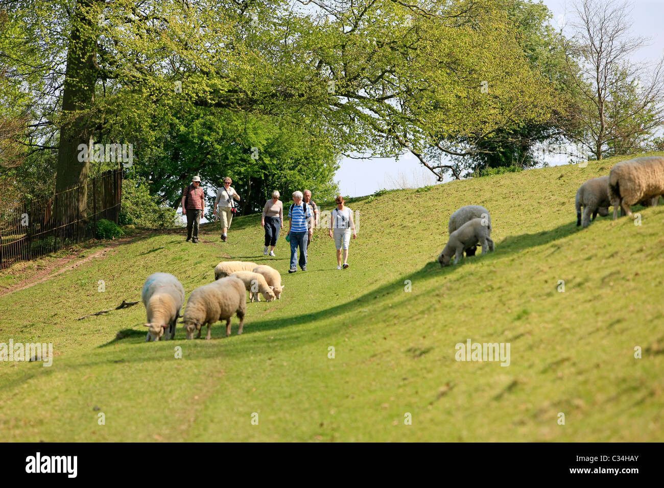Tourists on a walking holiday follow the public path through a field of sheep - Stock Image