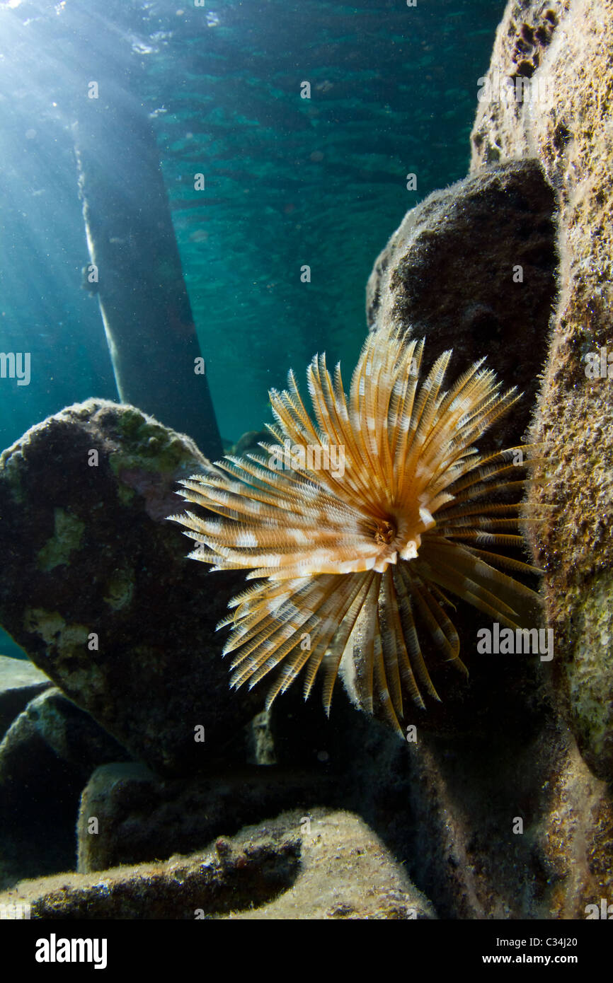 A tube worm in the shallow warm waters of The Caribbean Stock Photo