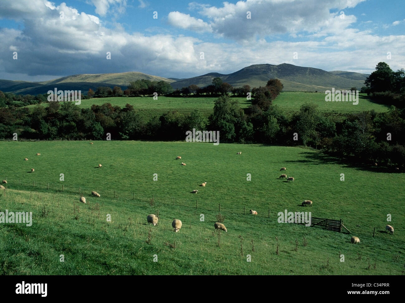 Mourne Mountains,Co Down,Northern Ireland;View Of Mountains,With Sheep Grazing In Paddock In Foreground - Stock Image