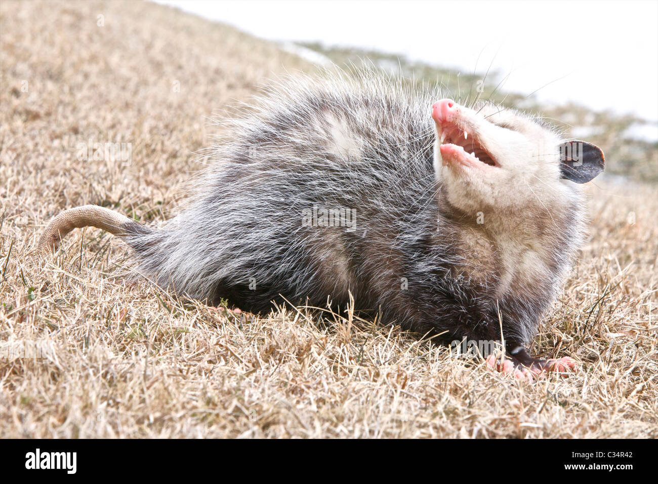 A Common Opossum appears to grin as it snarls on a winter day.  There is snow in the background and on the Opossum's - Stock Image