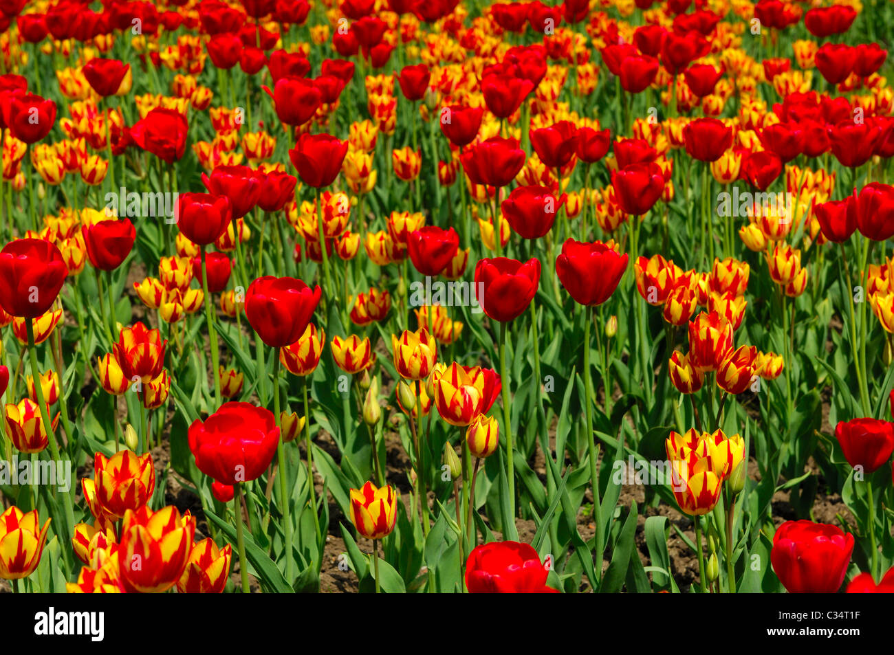 Tulip bed with Red Gorgette und Colour Spectacle varieties, Dutch Tulips - Stock Image