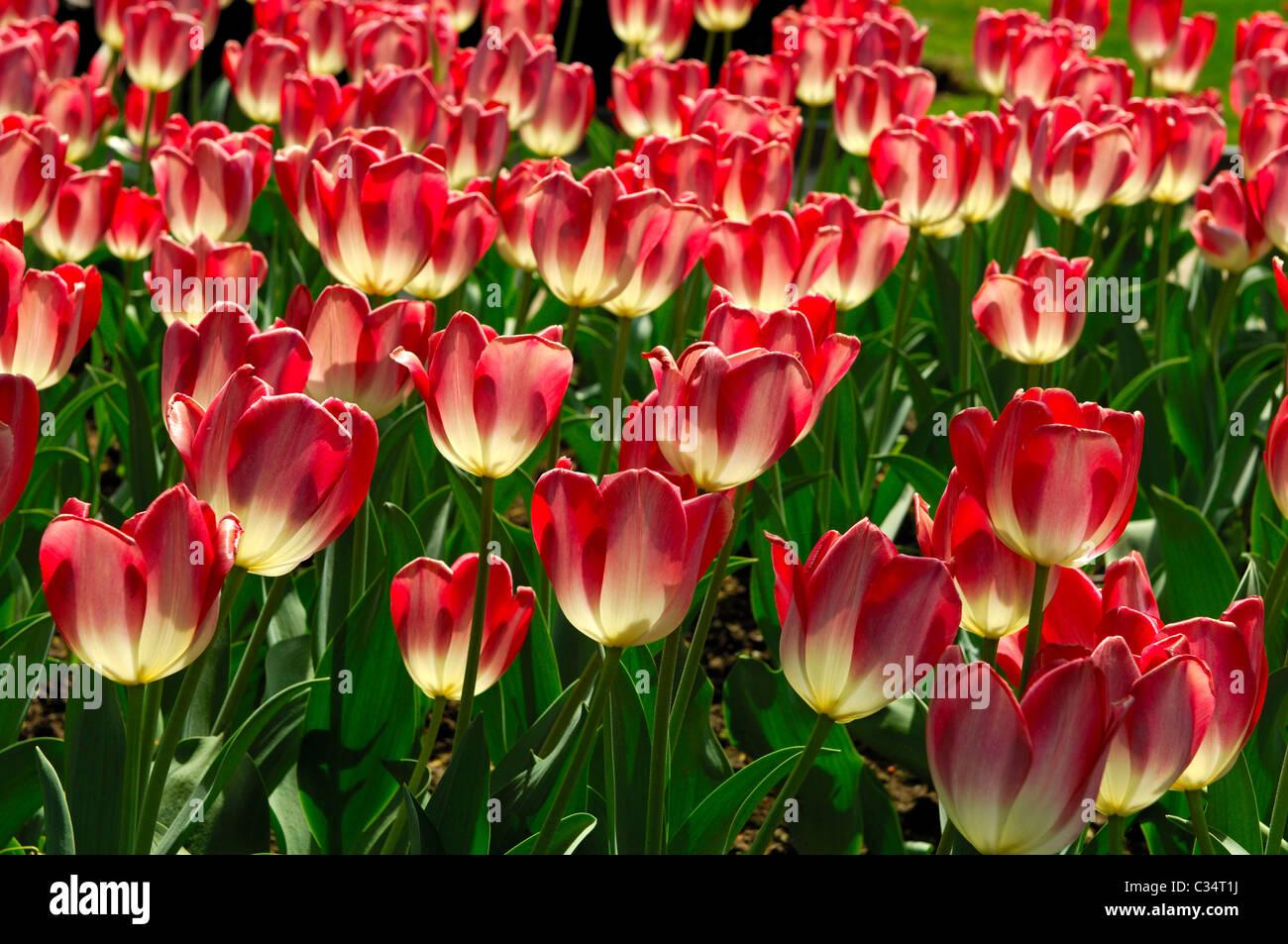Big Chief tulip variety, Dutch Tulips - Stock Image