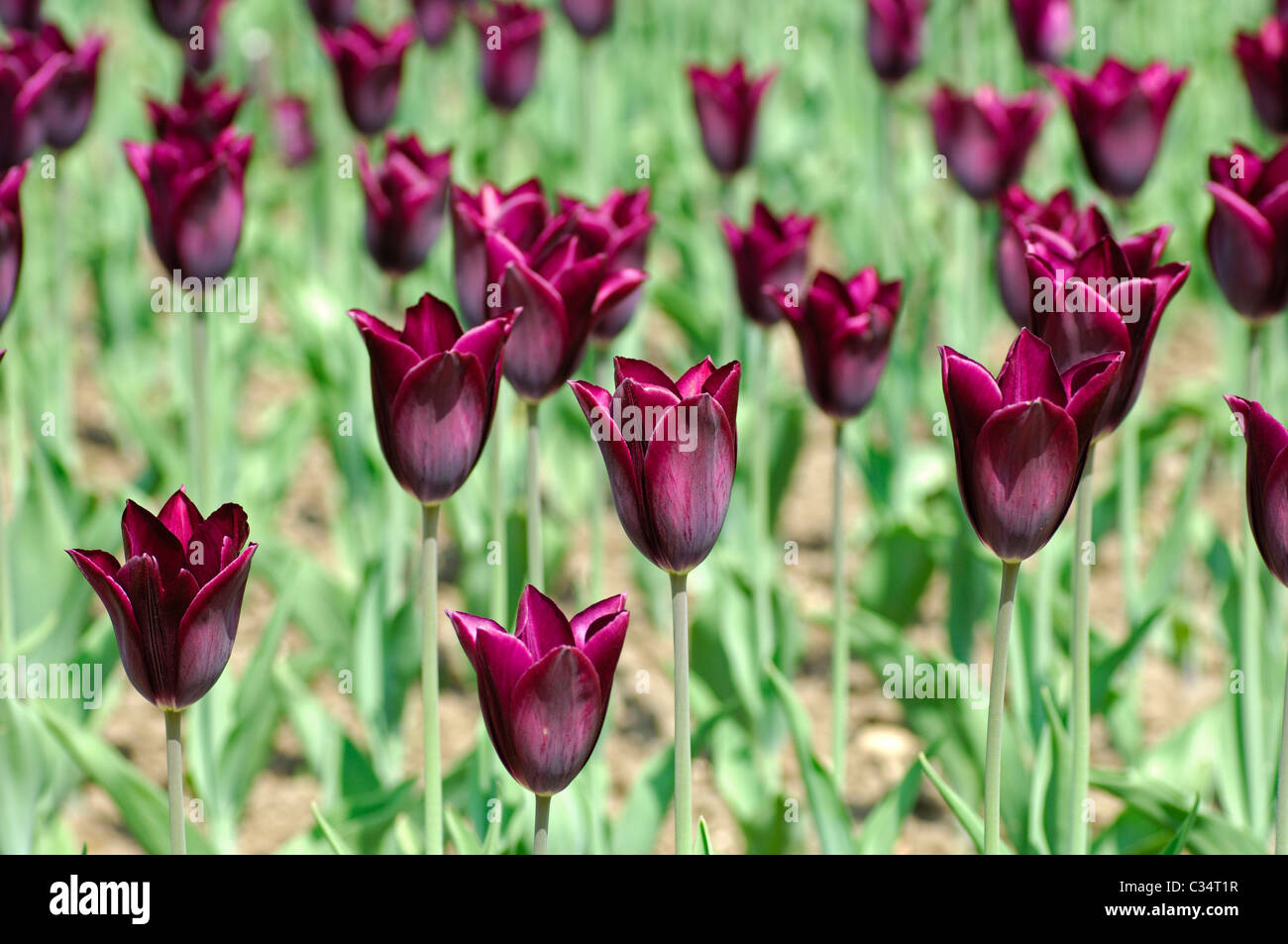 Havran Triumph Tulips, Dutch Tulips - Stock Image