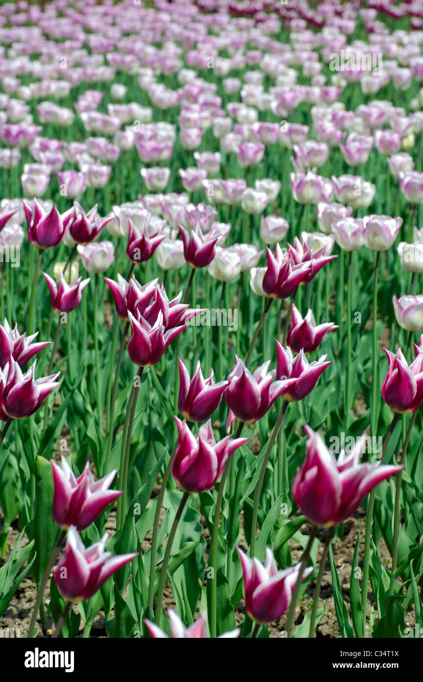Flower bed with Claudia Tulips, Dutch Tulips - Stock Image