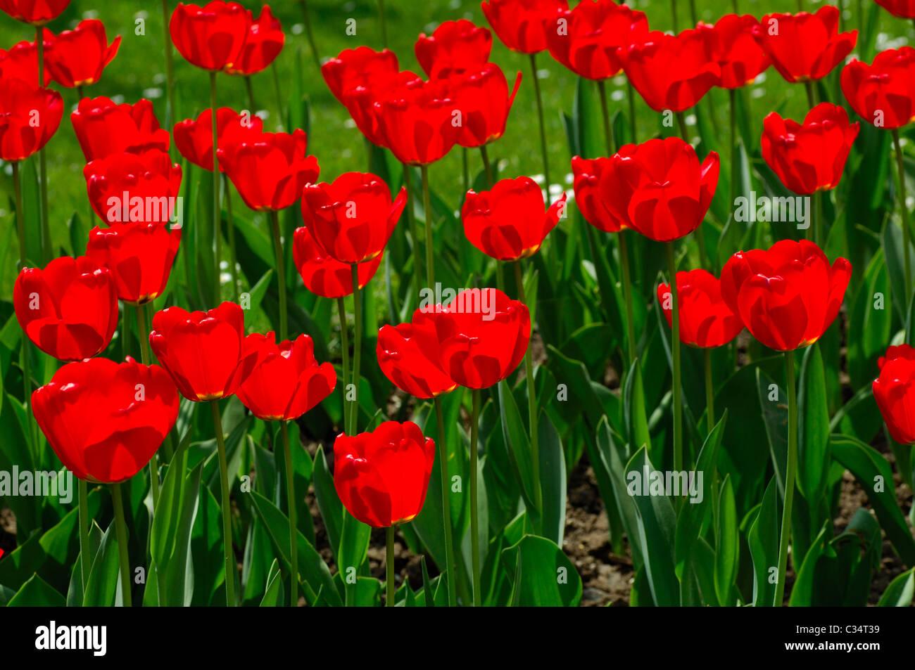 Red Tulips Apeldoorn, Dutch Tulips - Stock Image