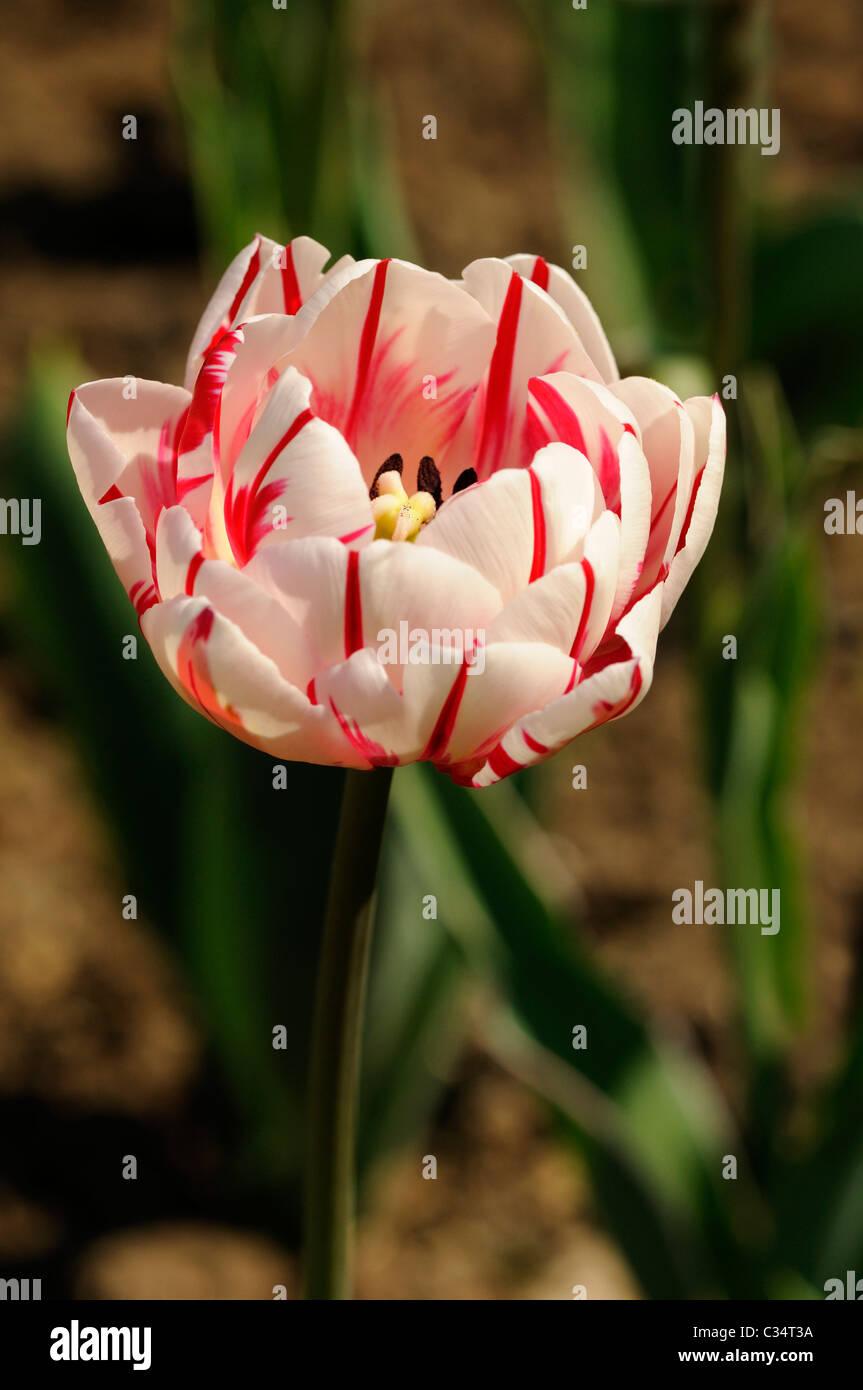 Double lateTulip variety Carnaval de Nice, Dutch Tulips - Stock Image