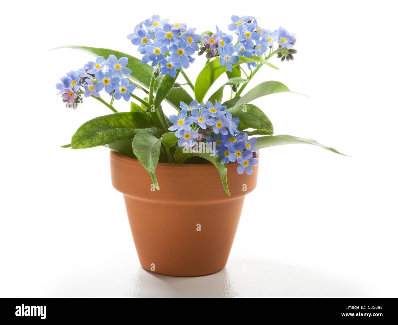 forget me not small beautiful flowers in flower pot stock photo 36374696 alamy. Black Bedroom Furniture Sets. Home Design Ideas